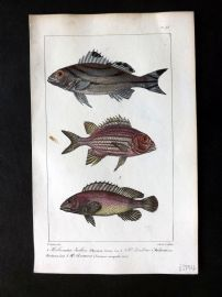 Lacepede & Oudart C1830 Hand Col Fish Print. Squirrelfishes 93